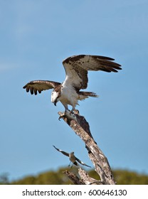 Male Osprey (Pandion Haliaetus) enjoying a freshly caught fish high in a tree in the Florida Everglades