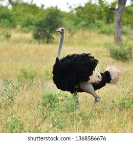 male of ostrich in african landscape,Kruger national park,South Africa