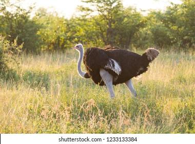 Male Ostrich in Botswana