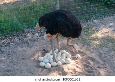 Male ostrich joining the eggs in the nest