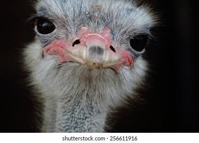 Male ostrich portrait