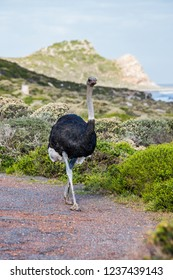 Male ostrich walking along the tarred road of the Cape of Good Hope, South Africa.