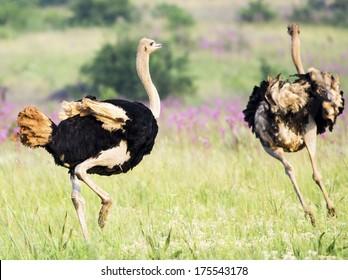 A male ostritch chases a female ostritch in a green veld