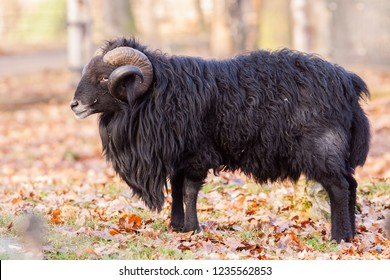 Male of Ouessant sheep in the zoo