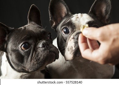 Male owners hand feeding food to two french bulldogs, black and white dogs, interior studio shot, point of view