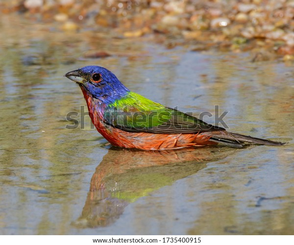 Male Painted Bunting casting a reflection in the water.
