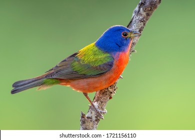 Male Painted Bunting on Bare Branch During Spring in Louisiana  - Shutterstock ID 1721156110