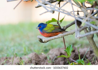 Male Painted Bunting (Passerina ciris) Perched on Sticks in Mexico