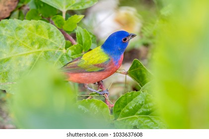 Male Painted Bunting (Passerina ciris) in Leaves in Mexico