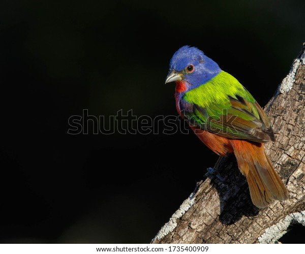 Male Painted Bunting in South Texas