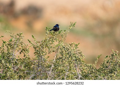 Male Palestine, sitting with her back on a bush