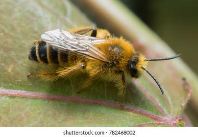 Male pantaloon bee, Dasypoda hirtipes on leaf