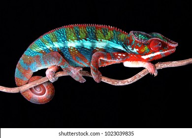 Male Panther Chameleon Bull sitting on a stick with Black Background