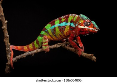 A male panther chameleon (Furcifer pardalis) from the area around Ambilobe, Madagascar