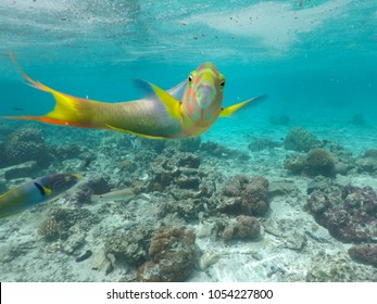 Male Parrotfish looking at the camera in a coral reef in Rarotonga, Cook Islands.