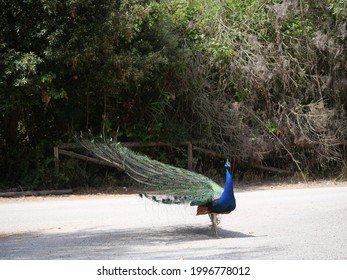 male peacock with a blue body and feathers open like a fan and decorated with a colorful green, yellow and blue ocellated spot - Shutterstock ID 1996778012