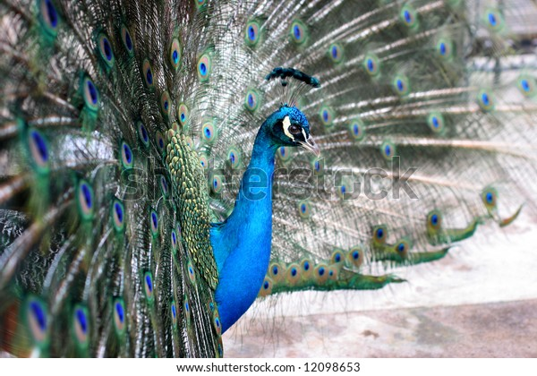 male peacock with colorful tail on display