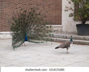 Male Peacock dancing mate ritual to the female (Pavo cristatus)