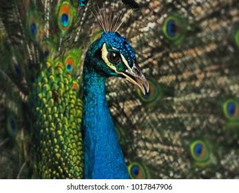 Male Peacock displaying his plumage