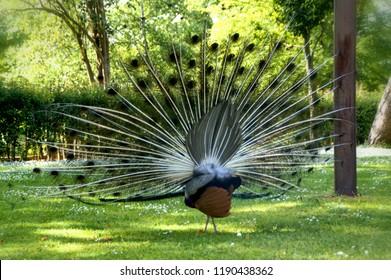 Male peacock in the garden, Oporto