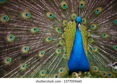 Male Peacock Outside