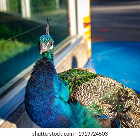 Male peacock or Peafowl. Male peafowl are referred to as peacocks, female peafowl are referred to as peahens.
