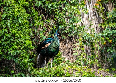 A male Peacock standing in front of green leaves