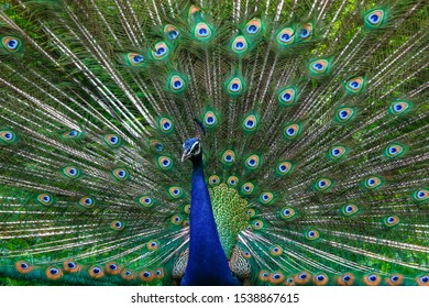 Male peafowl are known for their piercing calls and their extravagant plumage The latter is especially prominent in the Asiatic species