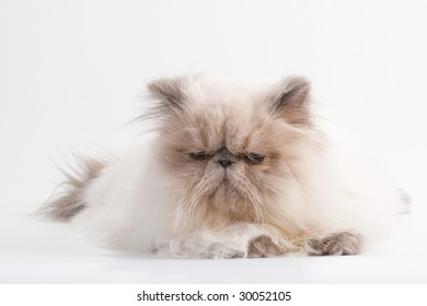 Male persian cat breed  lying on white background. No isolated.