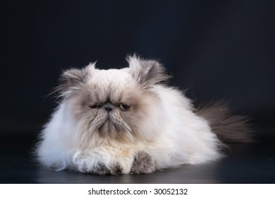 Male persian cat breed lying on black background.