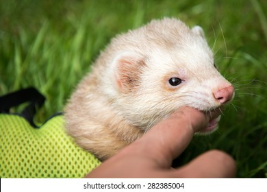Male pet cinnamon ferret in a harness play biting outside