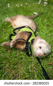Male pet cinnamon ferret in a harness playing outside