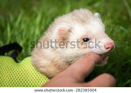 Male Pet Cinnamon Ferret Harness Play Stock Photo (Edit Now ...