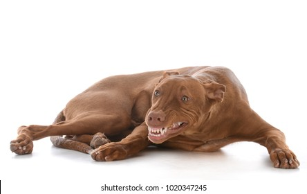 male pharoah hound with teeth showing on white background