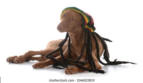 male pharoah hound wearing rastafarian wig on white background