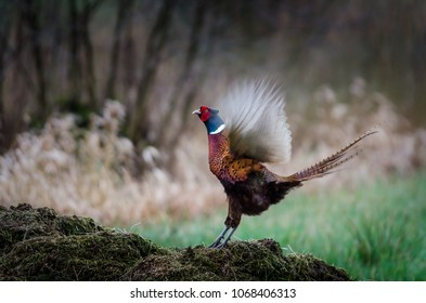 Male pheasant on watch over his territory