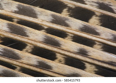 Male Pheasant Phasianus colchicus wing feathers