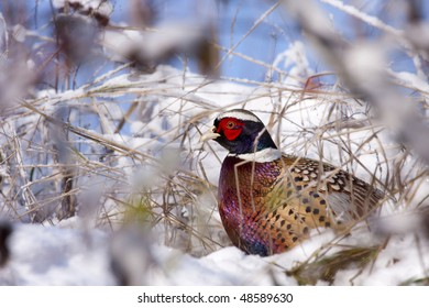 Male Pheasant in the snow (Phasianus colchicus mongolicus).