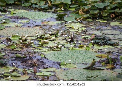 The male pheasant-tailed jacana and baby jacanas.