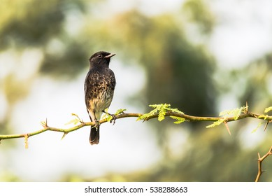 Male Pied Bushchat perched and curiously staring