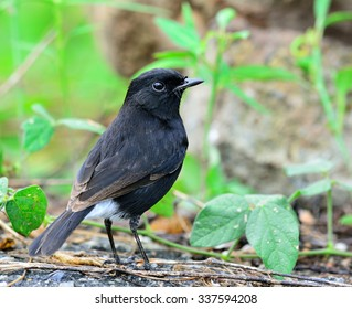 Male of Pied Bushchat (saxicola caprata) the lovely black bird standing on the ground showing its back feathers