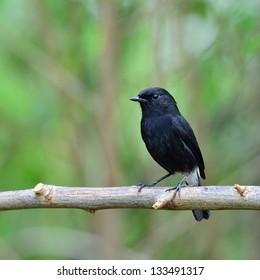 A male Pied Bushchat.(Saxicola caprata)