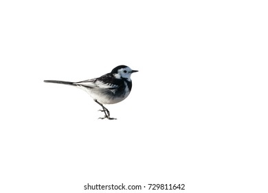 A male Pied Wagtail, Motacilla alba yarellii, standing, cutout and isolated against a white background.