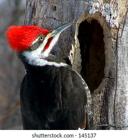 Male Pileated Woodpecker near hole.