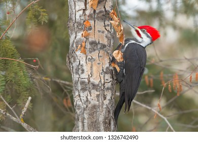 A male Pileated Woodpecker is perched on a slim tree trunk. Kinnaird Park, Edmonton, Alberta, Canada.