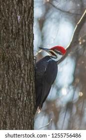 Male Pileated Woodpecker in winter