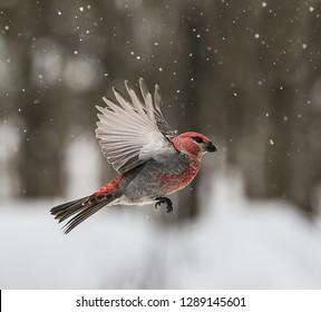 Male Pine Grosbeak Wings Up - A beautiful, male Pine Grosbeak flies in the snowfall.  Sax-Zim Bog, Meadowlands, Minnesota.