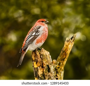 Male Pine Grosbeck Perched - A beautiful red colored male Pine Grosbeck is perched on the tip of a branch. Sax-Zim bog, meadowlands, Minnesota.