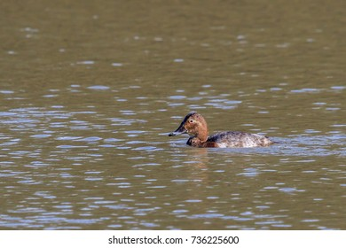 Male Pochard swimming on a lake in The UK