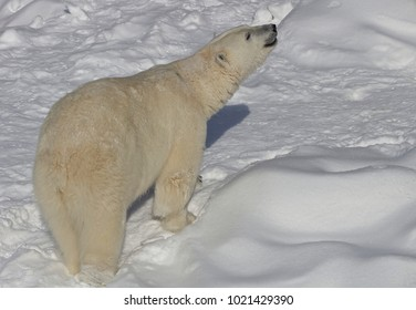 Male polar bear (Canada)